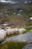 Sheep with lambs grazing on the slopes of the mountains. Scenic view of Norway mountains stock photography