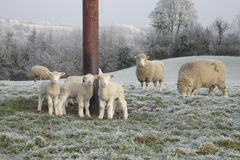 Sheep and lambs grazing in winter Stock Photo