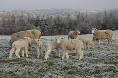 Sheep and lambs grazing in winter Royalty Free Stock Photo