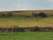 Sheep and lambs grazing on yorkshire hillside farmland. With drystone walls and ruined stone buildings on spring with a blue sky Royalty Free Stock Images