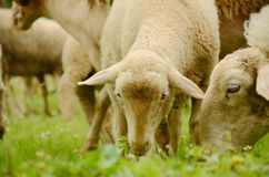Sheep with lambs on Green Field. Stock Image