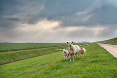 Sheep and lambs on green pasture Stock Images
