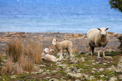 A sheep and lambs Royalty Free Stock Image