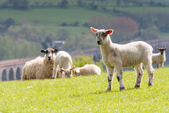 Sheep & lambs with harringworth viaduct Royalty Free Stock Photography