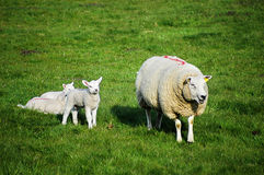 Sheep and lambs Stock Images