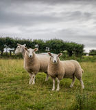 Sheep and Lambs. Herefordshire, UK. The yearling lambs stay by their mother despite their size, for an extended time Royalty Free Stock Photography