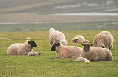 Sheep & lambs on hilltop Royalty Free Stock Image