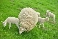 Sheep and lambs Stock Photos