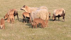 Sheep and lambs on meadow, audio, farming, spring, lambs stock video footage
