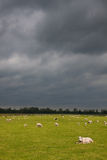 Sheep and lambs in a meadow with dark clouds. On the background in spring time Stock Photography