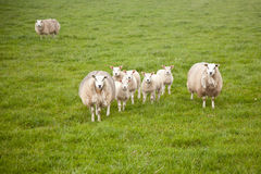 Sheep and lambs in meadow Royalty Free Stock Images