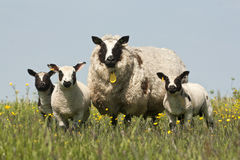 Sheep and lambs in a meadow Stock Photography