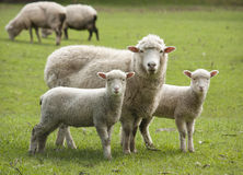 Sheep and lambs stock photos