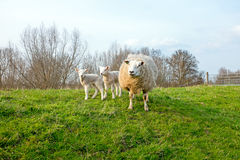 Sheep with lambs in the Netherlands Stock Image
