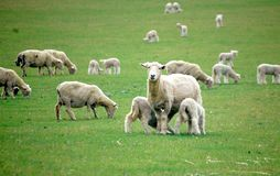 Sheep and Lambs New Zealand Farm Stock Photo