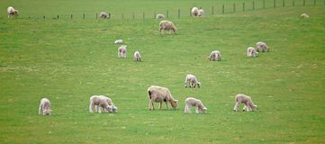 Sheep Farm New Zealand Royalty Free Stock Photo