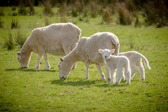 Sheep and lambs Royalty Free Stock Images