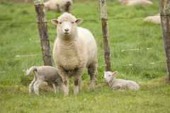 Sheep and Lambs Stock Photography