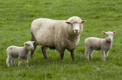 Sheep and Lambs. Sheep in a paddock with small lambs Stock Photos