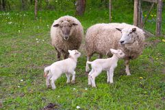 Sheep and lambs on pasture. Royalty Free Stock Photo