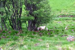 Sheep with lambs in pasture in Iceland stock image