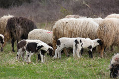 Sheep and lambs on pasture Royalty Free Stock Photography