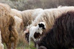 Sheep and lambs on pasture Royalty Free Stock Photo