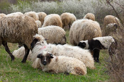 Sheep and lambs on pasture Stock Photo