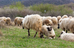 Sheep and lambs on pasture Stock Images