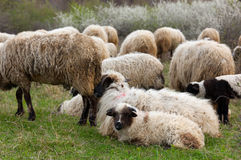Sheep and lambs on pasture Stock Photography