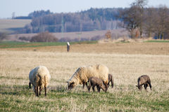 Sheep with lambs on pasture Stock Photography