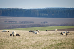 Sheep with lambs on pasture Royalty Free Stock Photos
