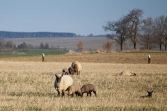 Sheep with lambs on pasture, spring time Stock Photos
