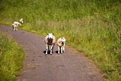 Sheep and lambs on the road Stock Photo