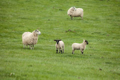 Sheep and lambs on the Scottish meadows. Landscape of Scotland highland with sheep on the fields Royalty Free Stock Photo