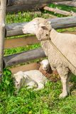 Sheep with lambs in the shelter royalty free stock photo