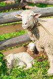 Sheep with lambs in the shelter royalty free stock photography
