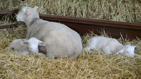 Sheep and lambs in the hay. Sheep and lambs sleeping in hay on farm stock footage