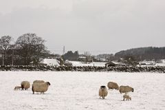 Sheep and lambs in the snow Royalty Free Stock Photography