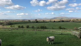 Sheep and lambs in spring. In fields near Roseberry Topping, North Yorkshire, England, United Kingdom stock footage