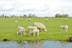 Sheep and lambs in springtime Stock Photos