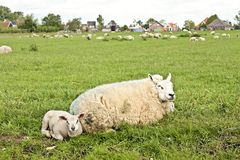 Sheep and lambs in springtime Stock Image