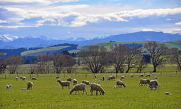 Sheep and Lambs in Springtime. Newly shorn sheep and lambs in a green field in spring, North Canterbury, New Zealand Royalty Free Stock Photo