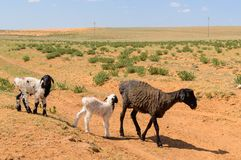 Sheep with lambs in the steppes of the semidesert. Animal, farm, wool, white, young, cute, meadow, livestock, ewe, green, agriculture, baby, spring, family stock photos