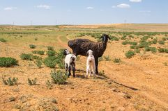Sheep with lambs in the steppes of the semidesert stock photo