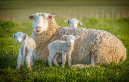 Sheep and 3 lambs Stock Photo