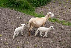 Sheep and lambs Royalty Free Stock Image