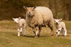 Sheep and lambs walking Stock Images