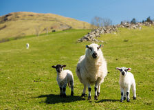 Sheep and lambs in welsh mountain farm Stock Image