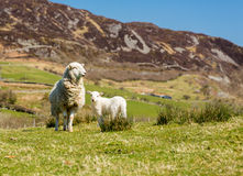 Sheep and lambs in welsh mountain farm Stock Photo